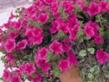 10 hot pink surfinia (trailing petunia)