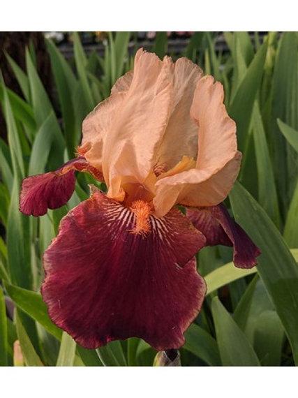 Iris Cimarron Strip