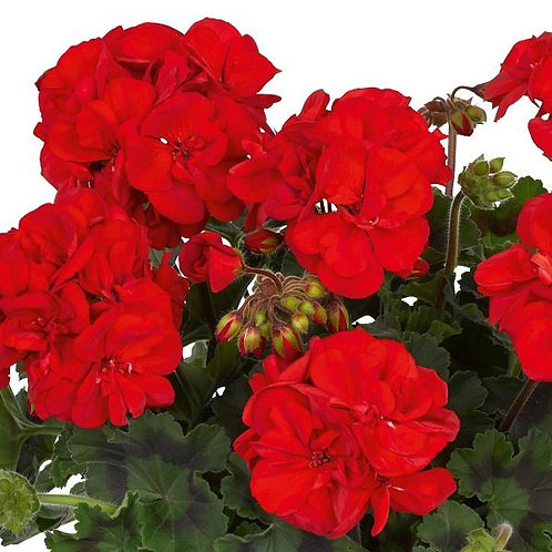 10 bright red upright geraniums