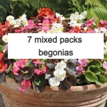 7 packs begonia green & red leaf (42 plants)