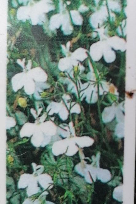 Lobelia Compact white lady pack of 10 plants