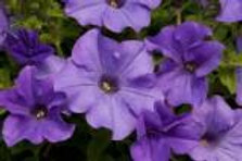 10 lavender million bells  (Calibrachoa)