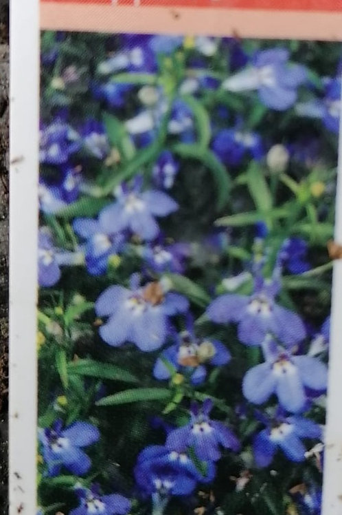 Lobelia trailing sapphire pack of 10 plants