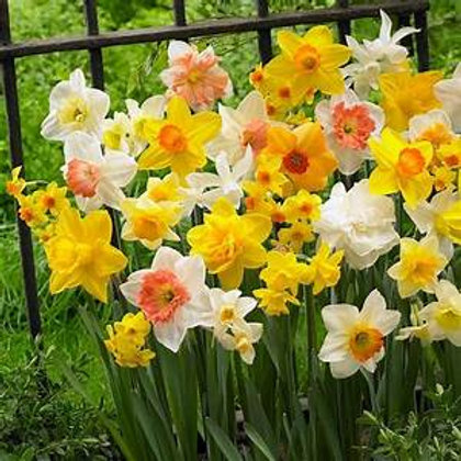 Mixed daffodil bulbs