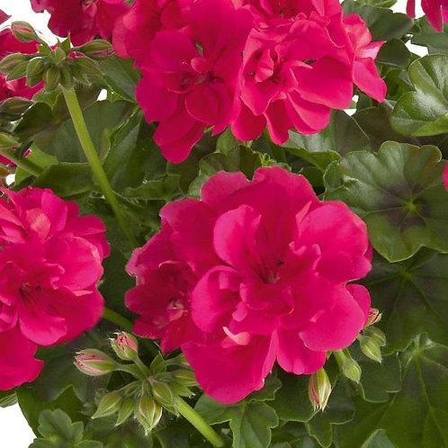 10 rose trailing geraniums