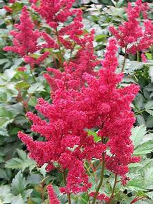 Astilbe ardendsii Burgundy red