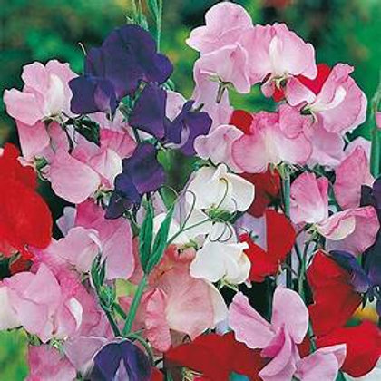 Pot of Sweet peas Old Spice plants