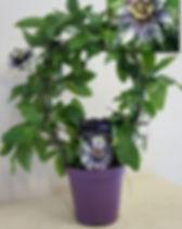 Passiflora Saphire 1.jpg