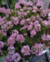 Chamelaucium strawberry 1.jpg