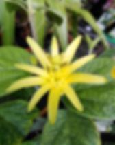 Passiflora citrina 8.jpg