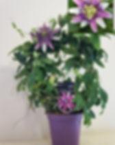 Passiflora Clara 1.jpg