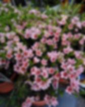 Chamelaucium sarah's delight 3.jpg