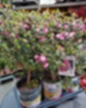 Leptospermum_scoparium_purple_haze__Új-