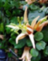 Passiflora aurantia 10.jpg