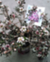 Leptospermum_scoparium_pink_Új-zélandi