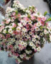 Chamelaucium my sweet 6.jpg