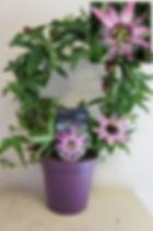 Passiflora x violacea 'Victoria' 1.jpg