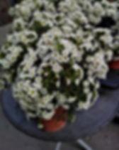 Chamelaucium chantilly lace 3.jpg