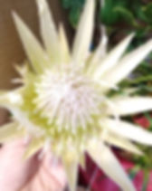 Protea White Crown 8.jpg