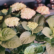Hortensien in verschiedenen Farben (weiss)