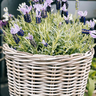 Lavendel in weiss-violett
