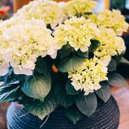 Hortensien in verschiedenen Farben (gelb)