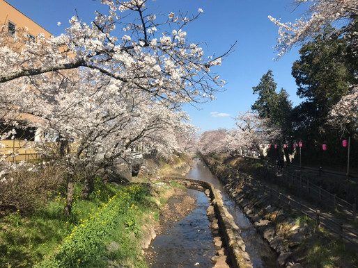 真岡市に桜の季節が訪れました