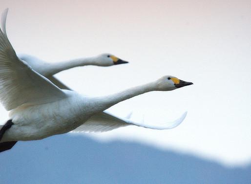 菱屋でお食事の後は…白鳥に会いに行こう!