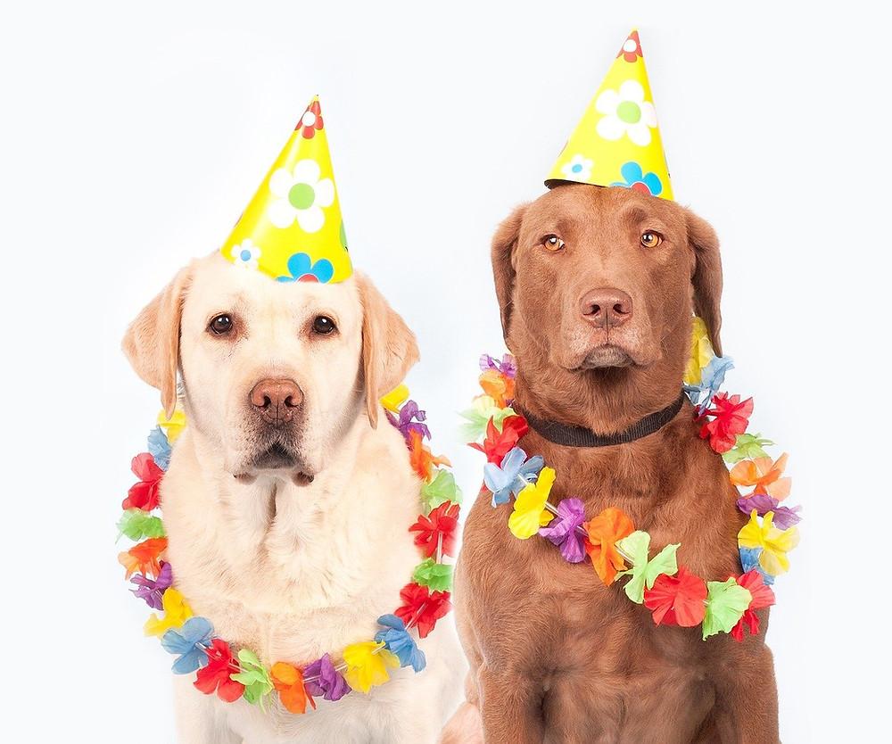 cachorros carnaval, fantasia carnaval cachorro, cães