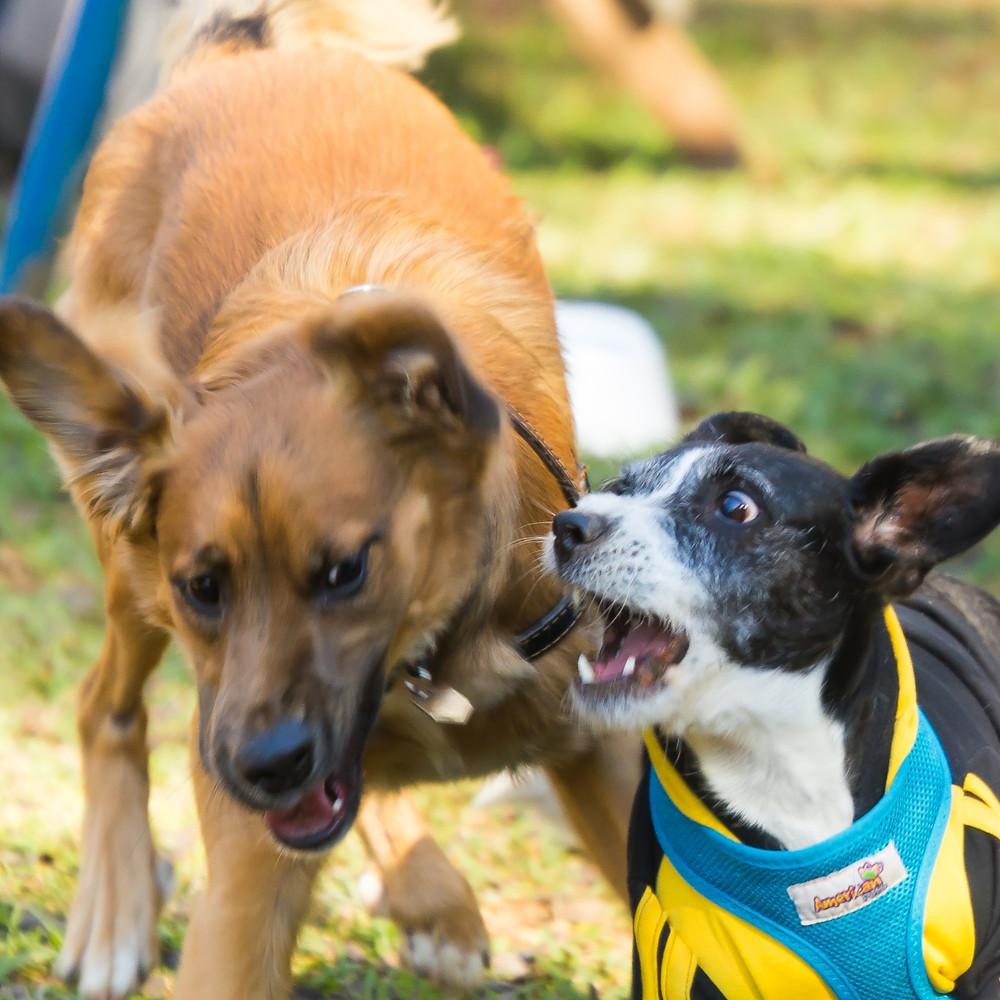 cães brincando, socialização cães
