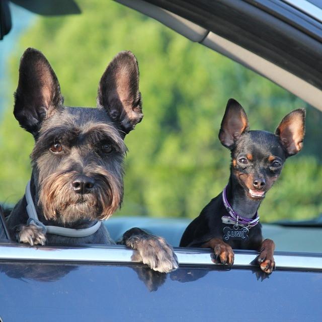 viajar de carro com cachorro, cães no carro