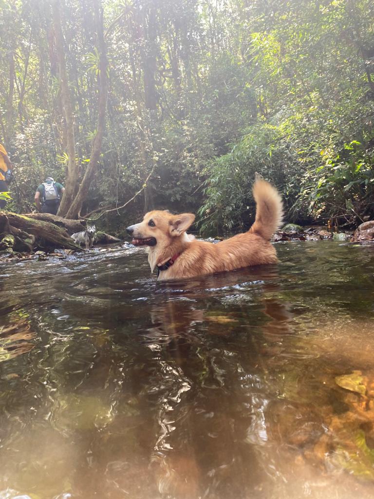 corgi nadando trilha e acampamento com cachorro