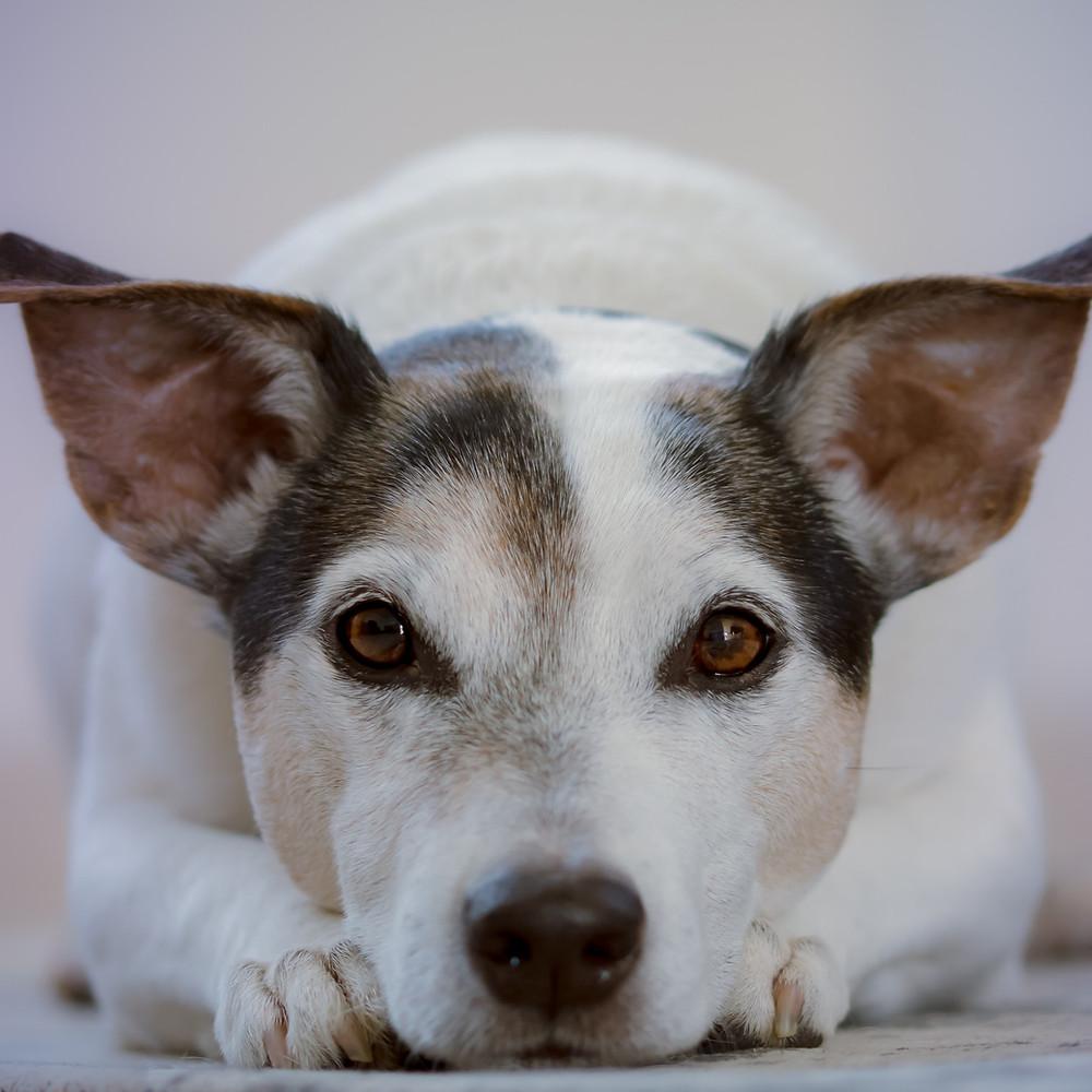 cachorro diabetes canina
