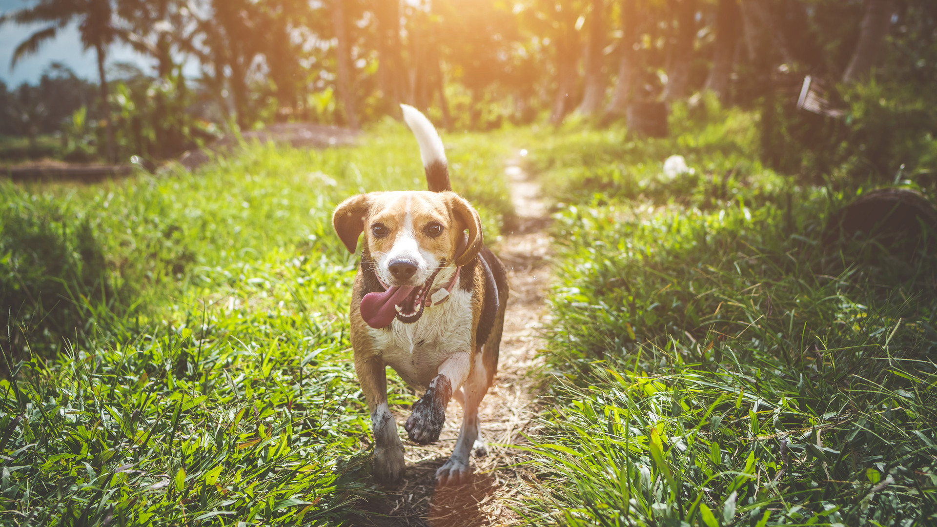 adult-beagle-walking-on-grass-field-1485