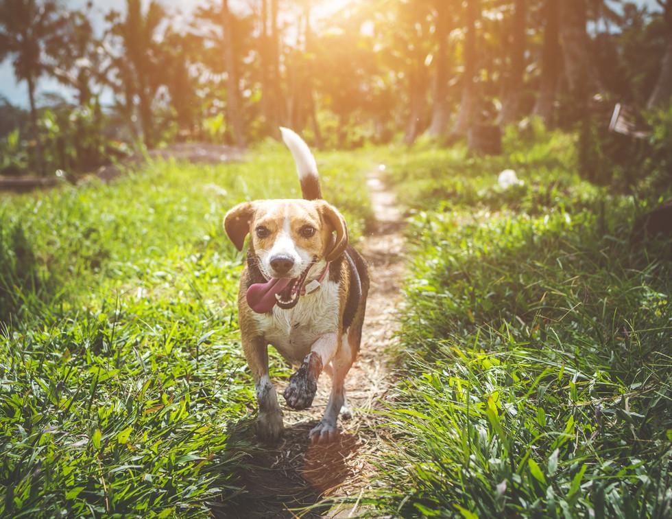 adult-beagle-walking-on-grass-field-1485