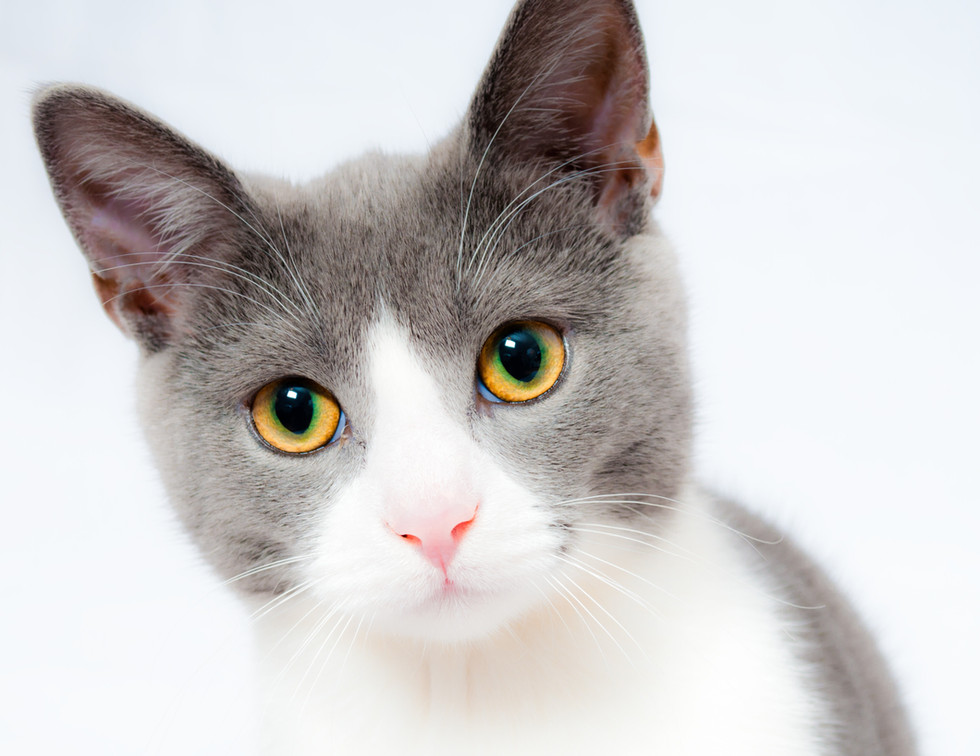grey-and-white-short-fur-cat-104827.jpg