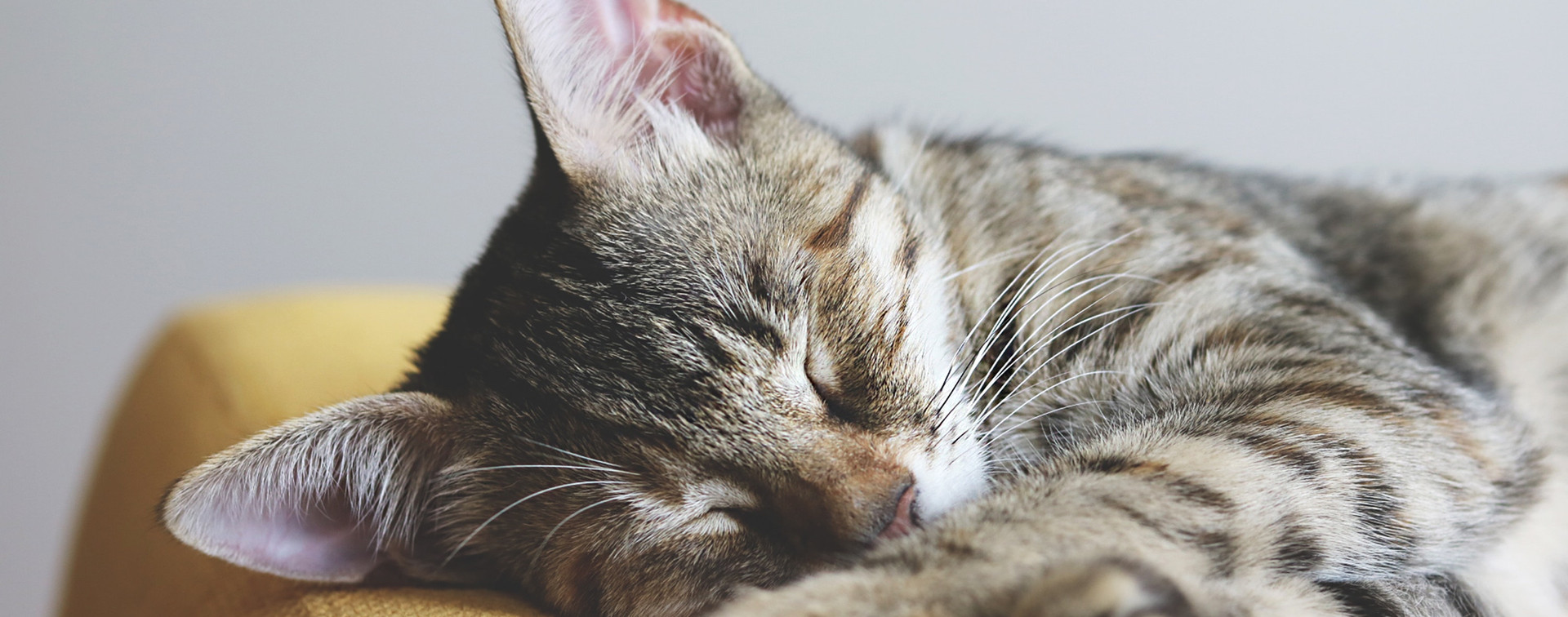 close-up-photography-of-gray-tabby-cat-s