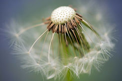 common-dandelion-335662__480.jpg