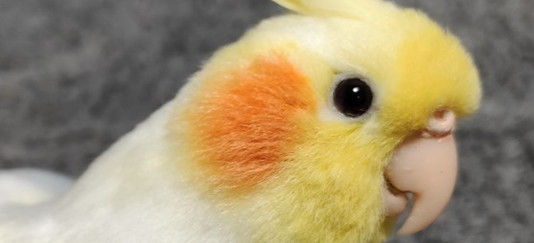 オカメインコルチノー 冠羽