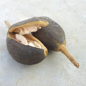 Baobab - Calabaceira