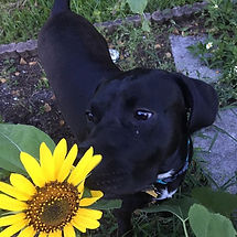 Even puppies love sunflowers! There are