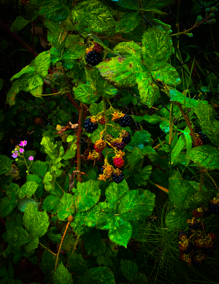 Berries in Bellingham