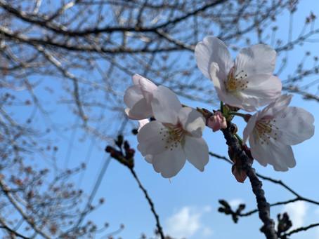桜 開花しています