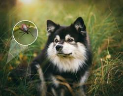 ticks-on-dogs-janko-ferlic.jpg