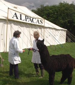 Alpaca at show