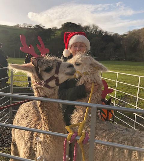 Christmas Alpacas