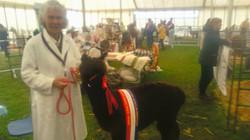 Championship Alpaca