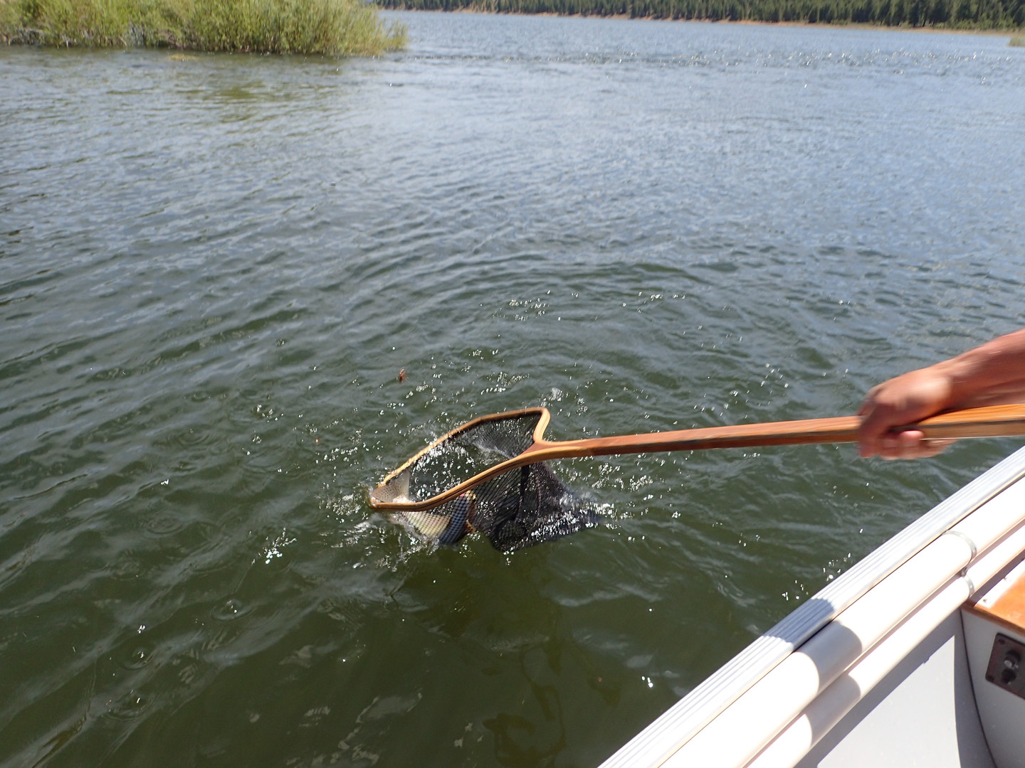 Netting a fish at Stampede