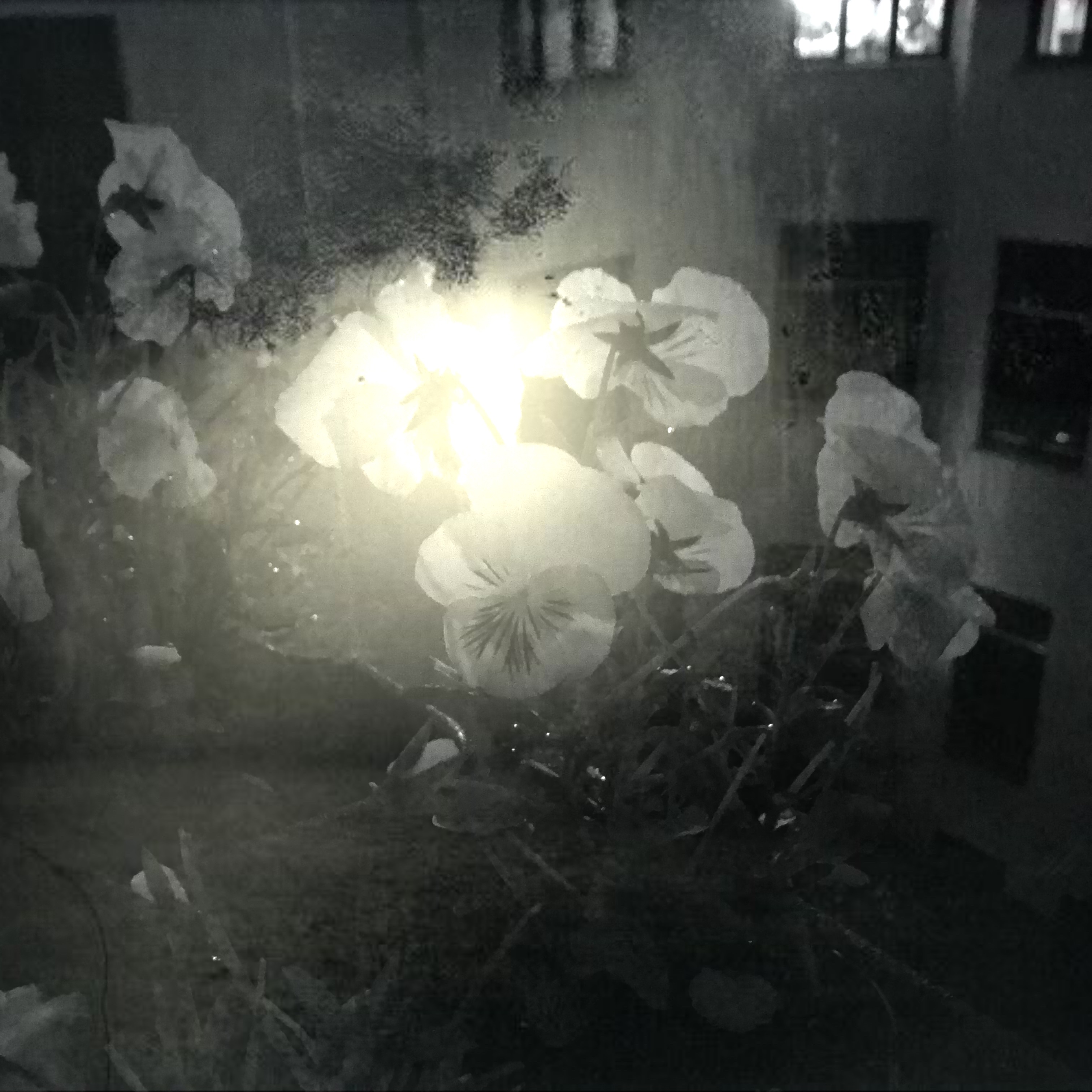 Pansies at Night 1