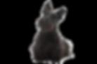 Scottish-Terrier-On-White-02.png